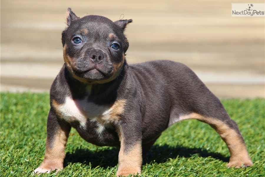 Bonnie: American Bully puppy for sale near Inland Empire