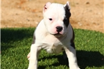 Picture of FLASHY BULLY MALE... AVAILABLE!!