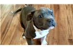 Picture of Trixie AKC American Staffordshire Terrier