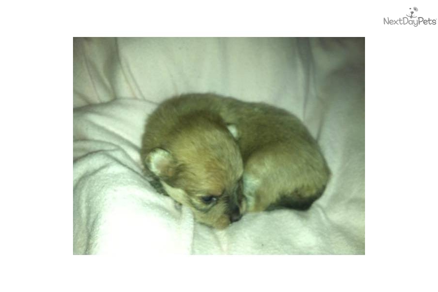 lavender pomeranian puppies for sale pomeranian puppy for sale near southeast ks kansas 1488