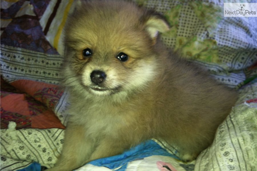 lavender pomeranian puppies for sale pomeranian puppy for sale near southeast ks kansas 1051