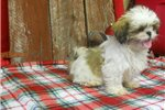 Picture of Shihtzu puppies www.countylinekennelh4.com