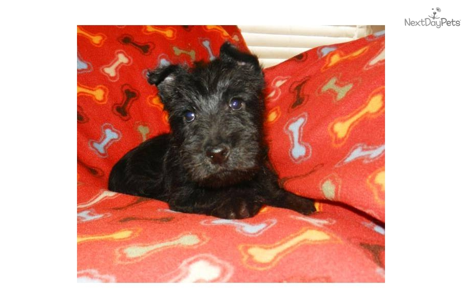 scottish terrier don t braden they don t come much cuter than this scottish 9793