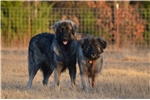 Picture of Working Livestock Guardian Parents, Gorgeous Pups!