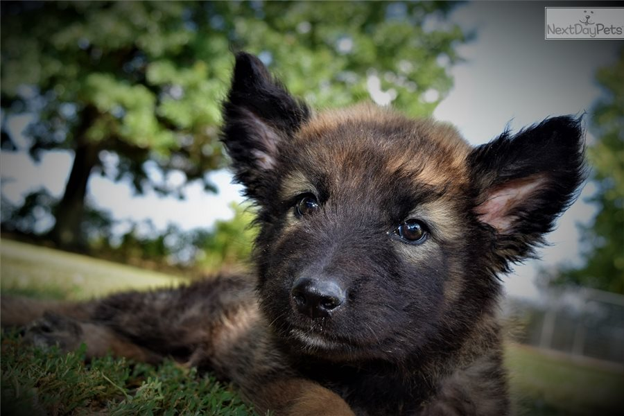 Bring Me Home! : German Shepherd puppy for sale Near Me In Netherlands
