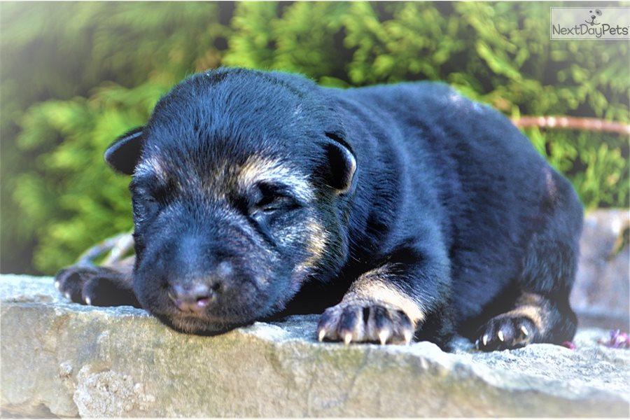 Text 417 658 2863 German Shepherd Puppy For Sale Near Joplin