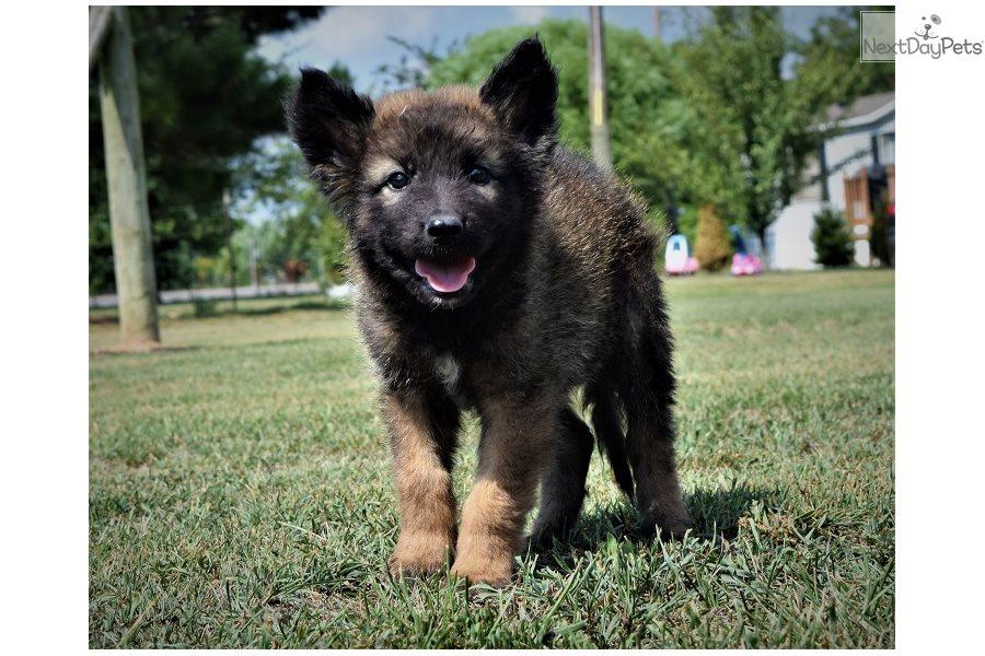 Bring Me Home! : German Shepherd puppy for sale Near Me In Spain