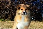Picture of a Shetland Sheepdog - Sheltie Puppy