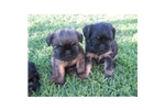 Featured Breeder of Brussels Griffons with Puppies For Sale