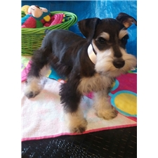 View full profile for Herron's Prized Schnauzers