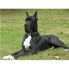 View full profile for von lanza european great danes
