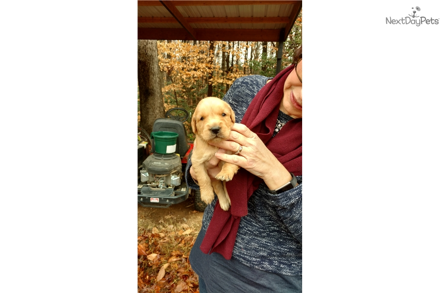 Sandy Girl: Golden Retriever puppy for sale near Greenville