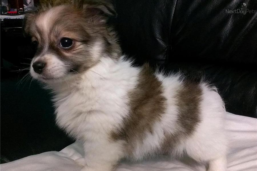 Havanese puppy for sale near Washington DC | 3ebccbb9-4871