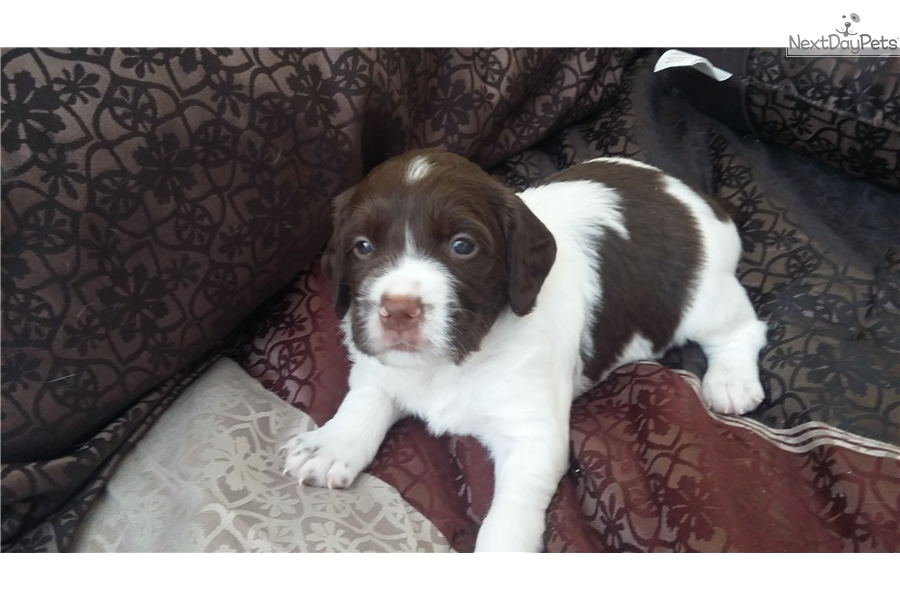 Liver And White : Brittany Spaniel puppy for sale near Houston