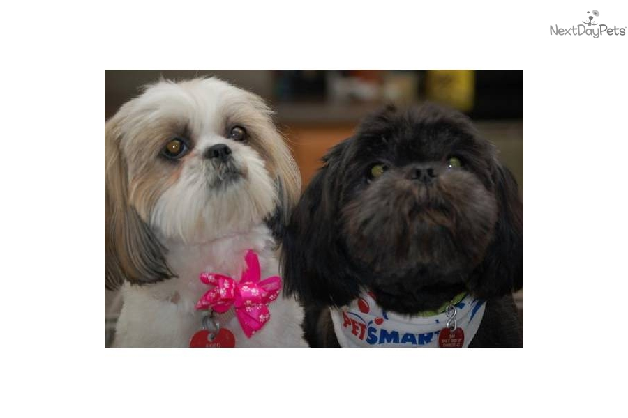 Puppies For Sale From Bells Az Shih Tzu Member Since January 2012