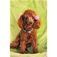 View full profile for Pamela's Pampered Poodle