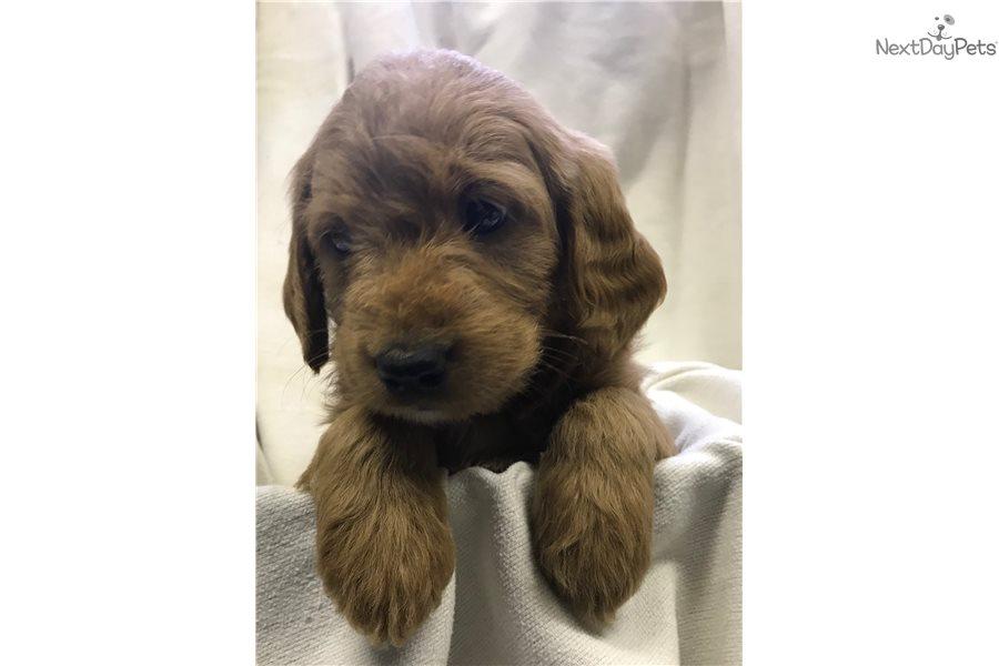 Labradoodle Puppy For Sale Near Southeast Ia Iowa