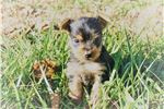 Picture of Beautiful Female Yorkie Poo