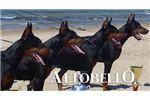 Picture of CHAMPION BRED EURO DOBERMAN PUPS !