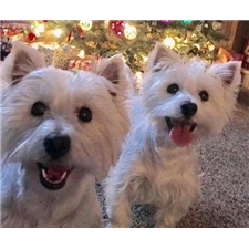View full profile for Smith's Westies