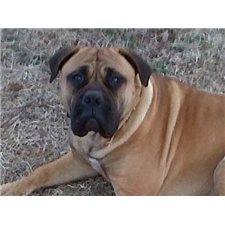 View full profile for Blevins Bullmastiff's