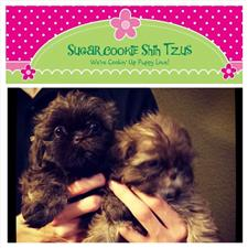 View full profile for Sugar Cookie Shih Tzus