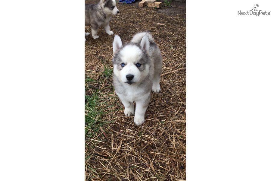 Siberian Husky Puppy For Sale Near Milwaukee Wisconsin Cdb214b0 6c31