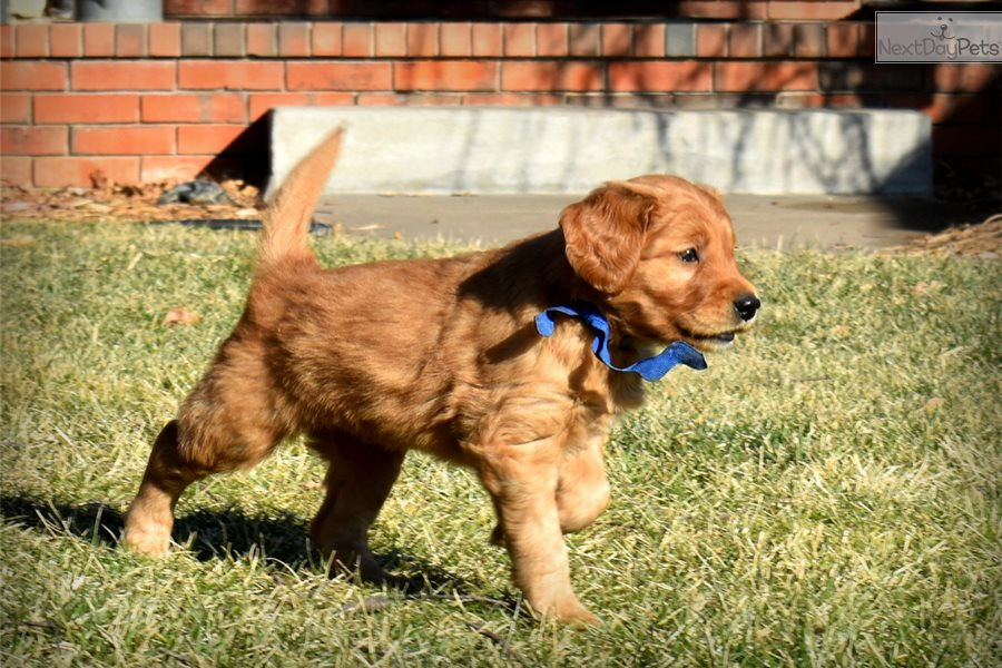 Golden Retriever Puppy For Sale Near Wichita Kansas