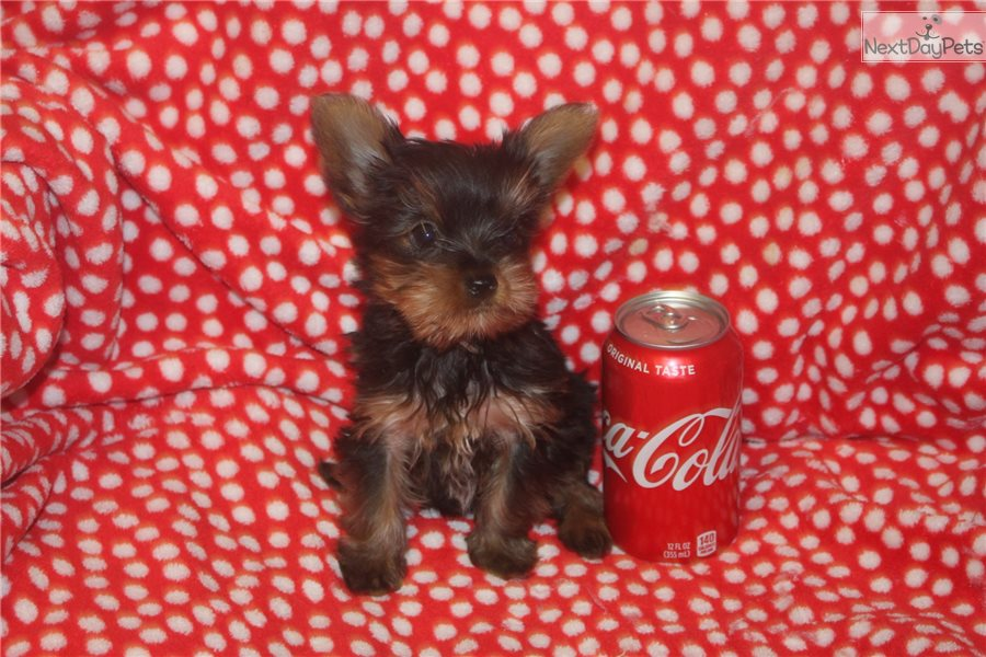 Yorkshire Terrier - Yorkie puppy for sale near Bowling Green
