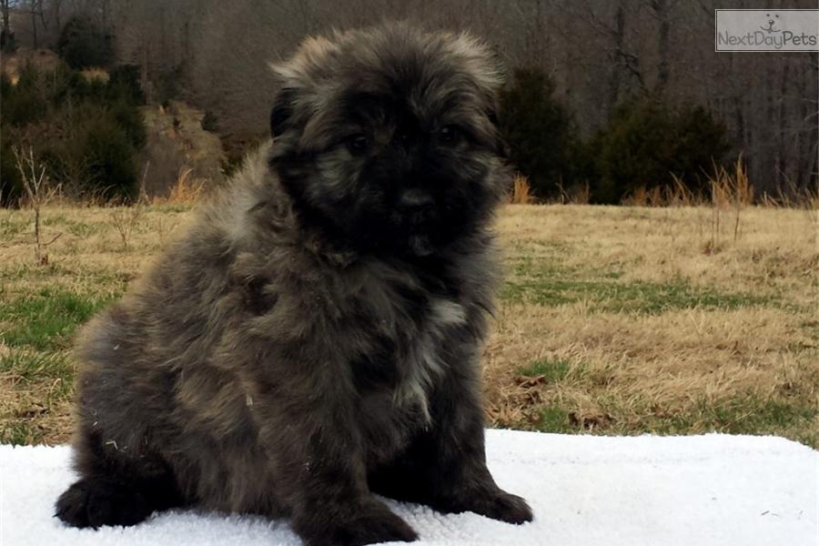 Bouvier Des Flandres puppy for sale near Fayetteville ...