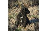 Picture of AKC HOLMES ***READY FOR THE NEW YEAR***