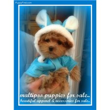 View full profile for Maltipoo Puppies
