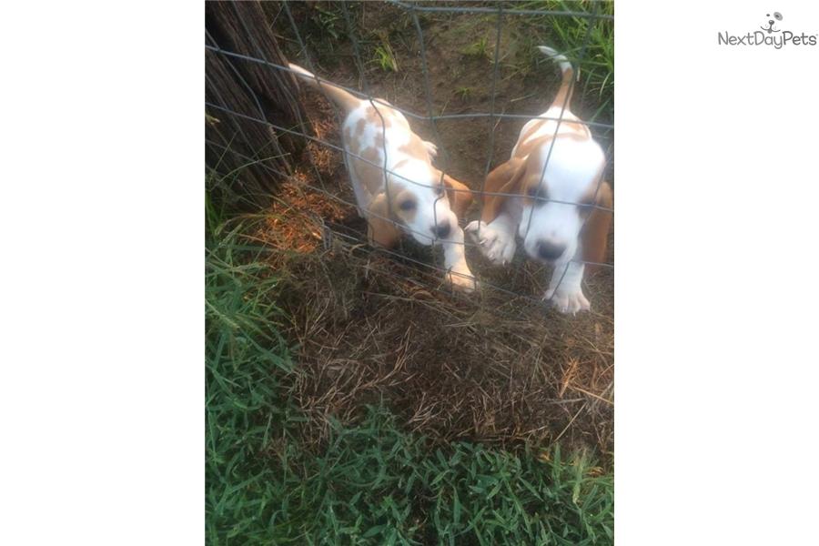 Basset Hound Puppy For Sale Near Pensacola Florida Fb2ab0a9 24c1