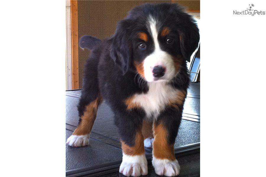 Thunder: Bernese Mountain Dog puppy for sale near Twin