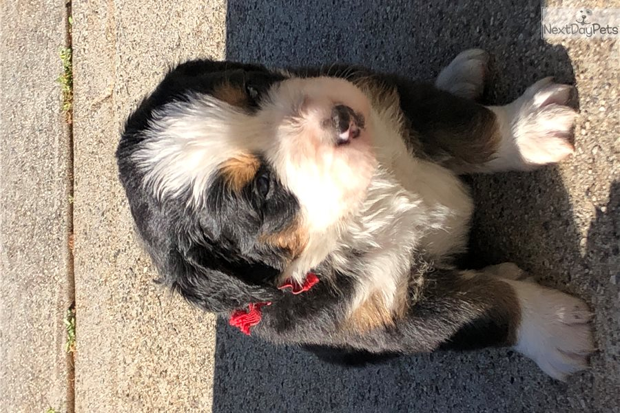 Red Bernese Mountain Dog Puppy For Sale Near Atlanta