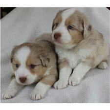 View full profile for Peach Tree Mini Aussies