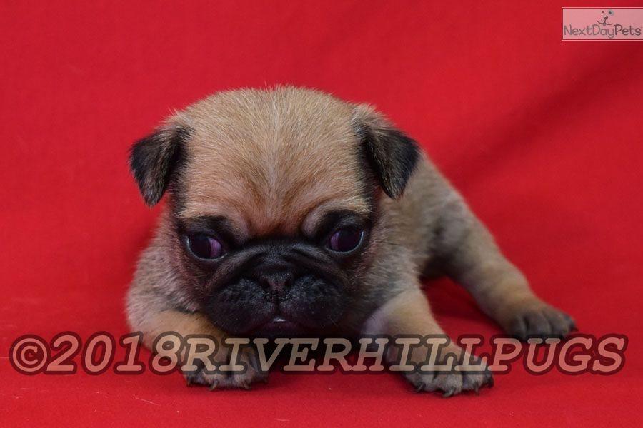 Biscuit Pug Puppy For Sale Near Southeast Missouri Missouri