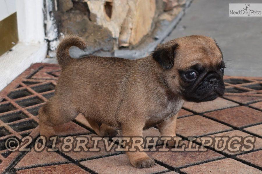Snickers Pug Puppy For Sale Near Southeast Missouri Missouri