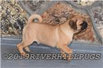 Picture of AKC Pug Fawn Male