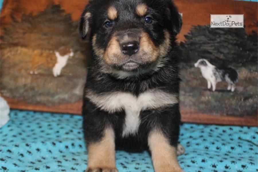 Oreo: German Australian Shepherd puppy for sale Queensland Australia