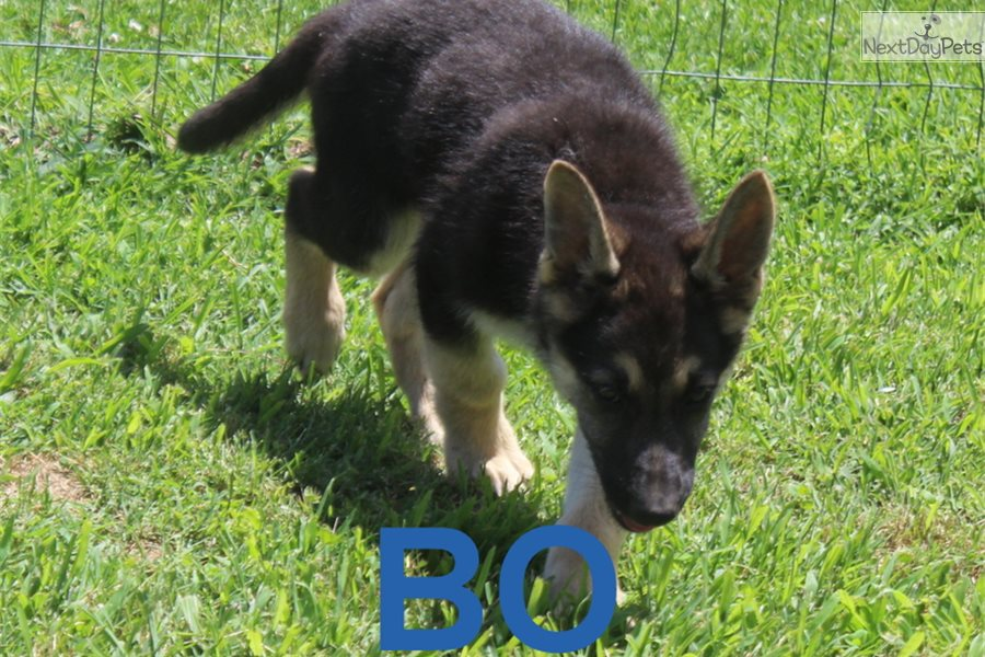Buy Black German Shepherd Puppies For Sale Near Me In Romania