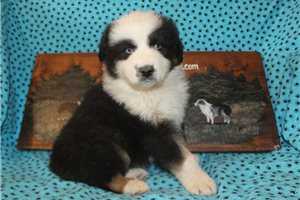 Lenny AKC | Puppy at 7 weeks of age for sale