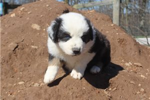 Trix AKC | Puppy at 7 weeks of age for sale