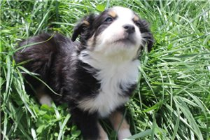 Ollie | Puppy at 7 weeks of age for sale