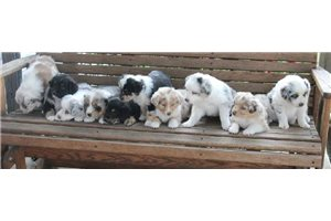 Featured Breeder of Aussiedoodles with Puppies For Sale