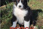 Australian Shepherd for sale