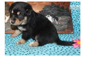 Picture of a German Australian Shepherd Puppy