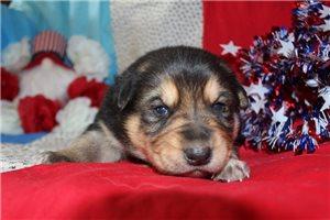 Picture of a German Australian Shepherd Puppy