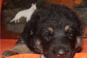 Samson | Puppy at 3 weeks of age for sale
