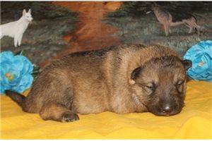 Milly - German Shepherd for sale